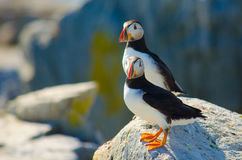 A close up of two Atlantic puffin standing on a rock Royalty Free Stock Photo