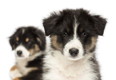 Close-up of Two Australian Shepherd puppies Stock Photography