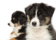 Close-up of Two Australian Shepherd puppies Stock Images