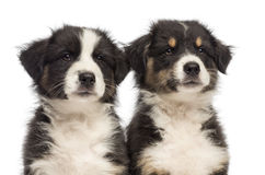 Close-up of Two Australian Shepherd puppies Stock Photo