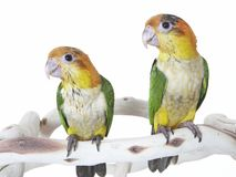 Close-up of a Two Baby Conure Parrots Stock Image