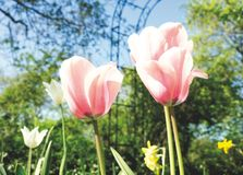 Pink tulips in a garden royalty free stock image