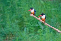Black-capped Kingfisher. The close-up of two Black-capped Kingfisher stand on branch. Scientific name: Halcyon pileata Stock Photo