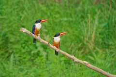 Black-capped Kingfisher. The close-up of two Black-capped Kingfisher stand on branch. Scientific name: Halcyon pileata Royalty Free Stock Image