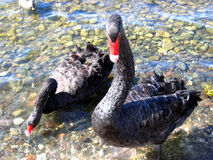Close up of two black geese Royalty Free Stock Photos
