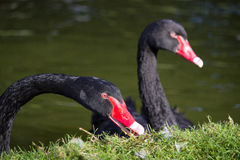 Close up of two black swans Royalty Free Stock Image