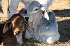 Two Brahma Calves Laying Down