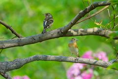 Brambling. The close-up of two Brambling stand on branch. Scientific name: Fringilla montifringilla stock images