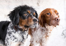 Close-up of two breed dogs Royalty Free Stock Photography