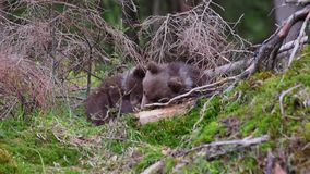 Brown bear cubs in forest stock video