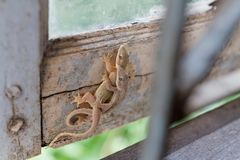 Brown lizards or house geckos. royalty free stock photo