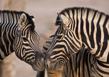 Close-up of two Burchells Zebras standing head to Stock Photography