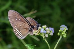 Close up of two butterflies feeding on flowers stock photos