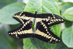 Close up of two Butterfly`s mating on Green Leaf Isolated royalty free stock photo