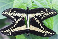 Close up of two Butterfly`s mating on Green Leaf Isolated royalty free stock photos