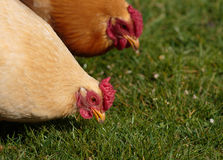 Close up of two free range chickens Royalty Free Stock Image