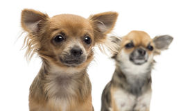 Close-up of two Chihuahuas looking away Royalty Free Stock Images