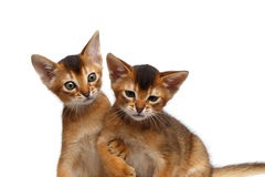 Close-up Two Cute Abyssinian Kitten Playing on Isolated White Background Royalty Free Stock Images
