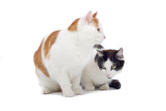 Close up of two cute cats. Isolated on white background royalty free stock images