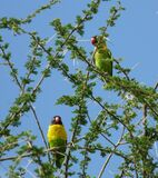 Close up of two cute, colourful Love birds in tree, blue sky, Tanzania