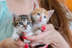 Close up of two cute kittens in woman`s hands. Royalty Free Stock Photography