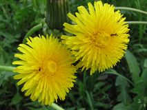 Close up of two dandelion flowers with ants on them against the background of grass royalty free stock photography