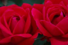 Close up of two deep red roses. Beautiful, romantics, flowers, bouquet, Valentine& x27;s Royalty Free Stock Photos