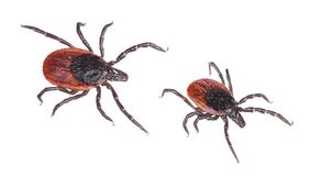 Close-up of two deer ticks. Castor bean tick. Ixodes ricinus royalty free stock photography