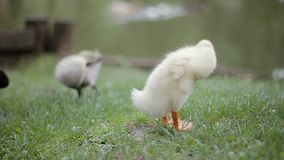 Close-Up of two ducklings cleaning their feather on a green grass in a park on water edge. Close-up of two ducklings cleaning their feather on a green grass in stock video footage