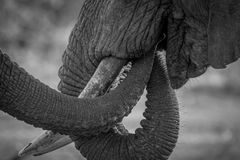 Close up of two Elephant trunks in black and white. Close up of two Elephant trunks in black and white in the Kruger National Park, South Africa royalty free stock photos
