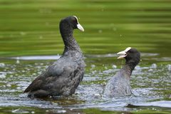 Eurasian coots, Fulica atra, waterfowl battle Stock Photography