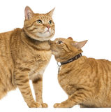 Close-up of two European Shorthair, 3 years old Stock Image