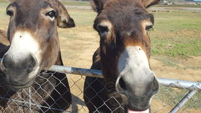 A close up of two farm donkeys. Two farm donkeys viewed closely while leaning over a fence Royalty Free Stock Images