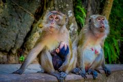 Close up of two female monkeys macaques crab-eaters one mom with his baby breastfeeding. Macaca fascicularis, area of Royalty Free Stock Image