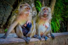 Close up of two female monkeys macaques crab-eaters one mom with his baby breastfeeding. Macaca fascicularis, area of Stock Image