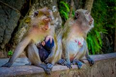 Close up of two female monkeys macaques crab-eaters one mom with his baby breastfeeding. Macaca fascicularis, area of Stock Photos