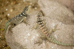 Close up of two  fence lizard Stock Photography