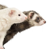 Close-up of two Ferrets, 2 years old Royalty Free Stock Photography