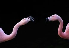 Close-up of two flamingo's Stock Images