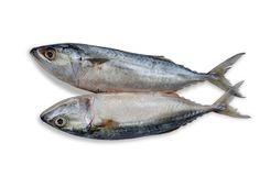 Close up two fresh mackerel fish isolated on white background. File contains a clipping path. seafood. Close up two fresh mackerel fish isolated on white Royalty Free Stock Images