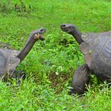 Galapagos Giant Tortoises Close Up, Galapagos Islands. Close up of two Galapagos giant tortoises Chelonoidis nigra having a territorial fight on Santa Cruz royalty free stock photo