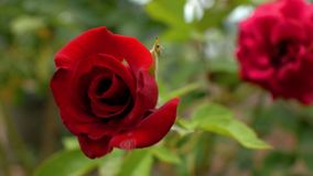 Close up two garden red roses. In the foreground a rose bud in focus, the second in the background out of focus.4k. 4k video.  stock video footage