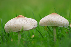 Close-up of two giant parasol mushrooms growing in fertile soil Royalty Free Stock Images