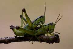 Close up of two grasshopper Orthopterous. Having sex on a piece of branch in the bush Royalty Free Stock Photo