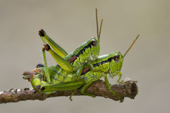 Close up of two grasshopper. Orthopterous having sex on a piece of branch in the bush Stock Image