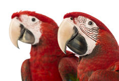 Close-up of two Green-winged Macaws, 1 year old Stock Photos