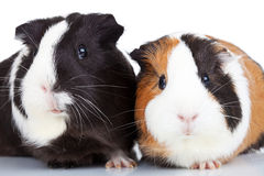 Close up of two guinea pigs Royalty Free Stock Photography