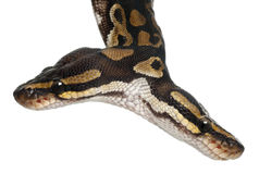 Close-up of Two headed Royal Python Stock Photography
