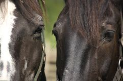 Close-up Of two Horses Royalty Free Stock Image