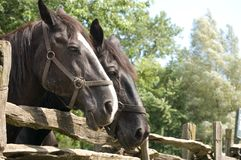 Close-up Of two Horses. Close up Of two Horse heads. Two horses together royalty free stock photography
